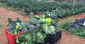 Cols, bròqouils i altres varietats de brassiques cultivades al Parc del Garraf es donen al Banc dels Aliments