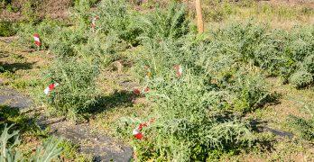Recuperación y mejora de la variedad tradicional de col 'espigall del Garraf' (Brassica oleracea L.)